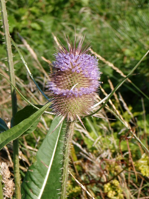 Common_teasel_.jpg