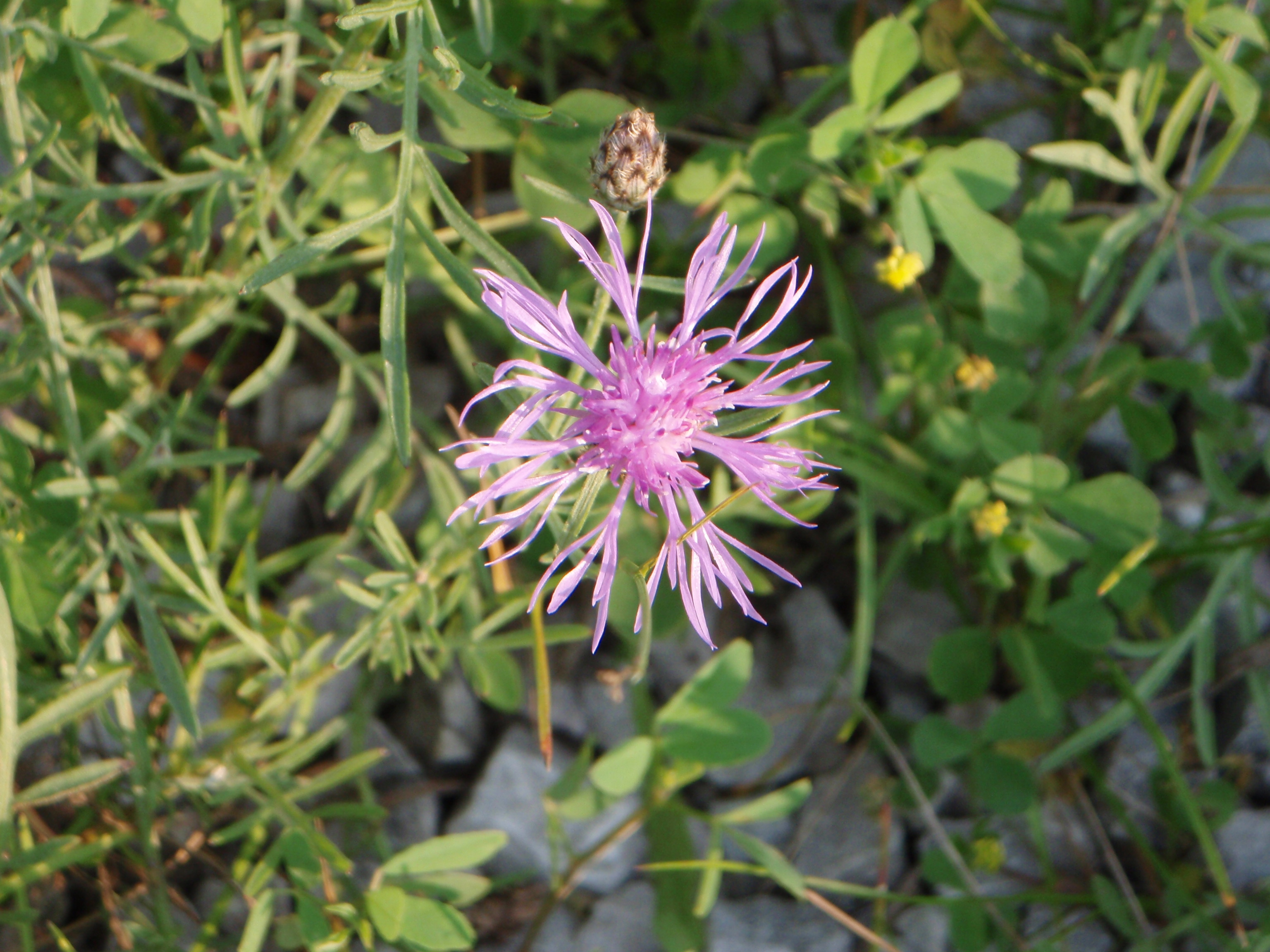 spotted knapweed flower.JPG