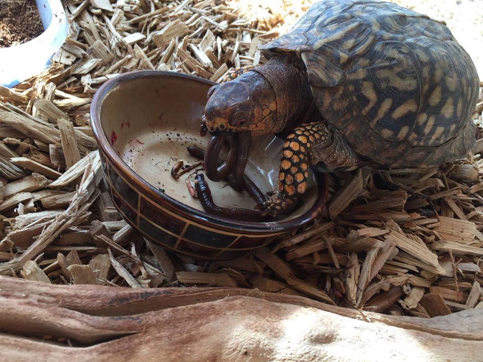 box turtle eating worms
