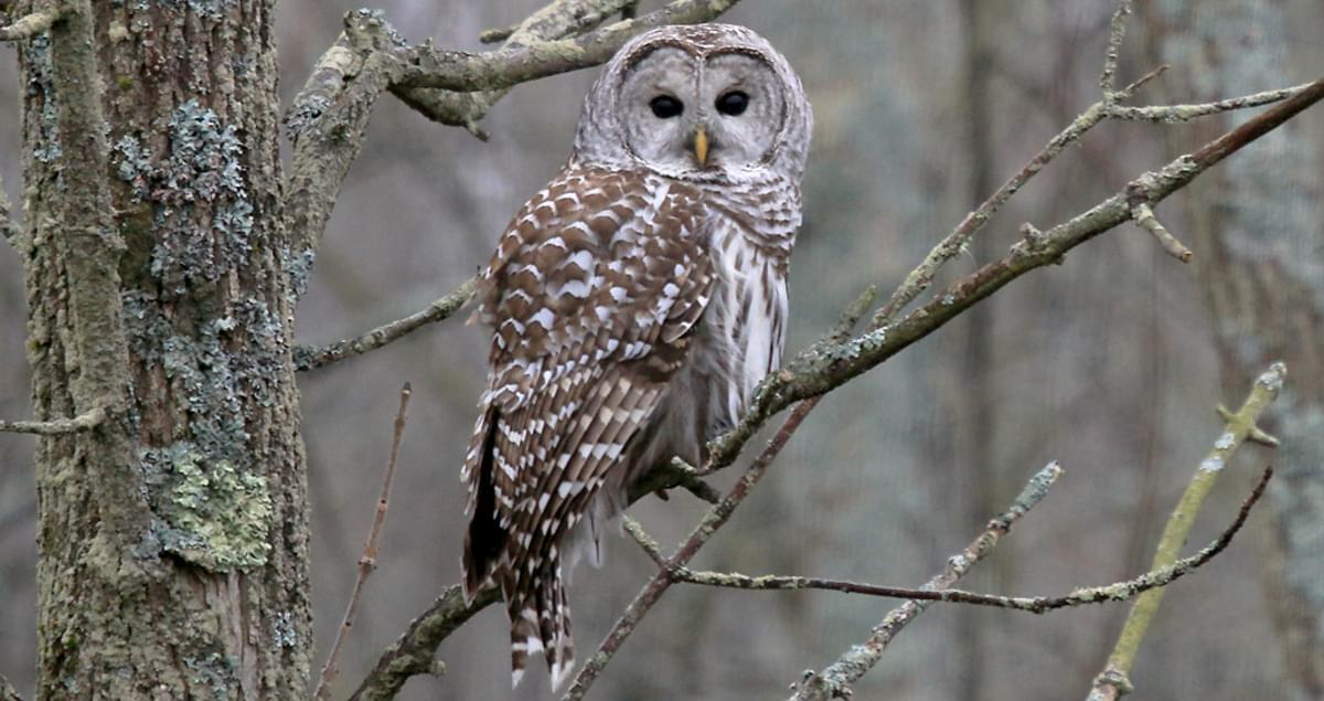 A Barred owl sitting on a branch. It is brown and white.