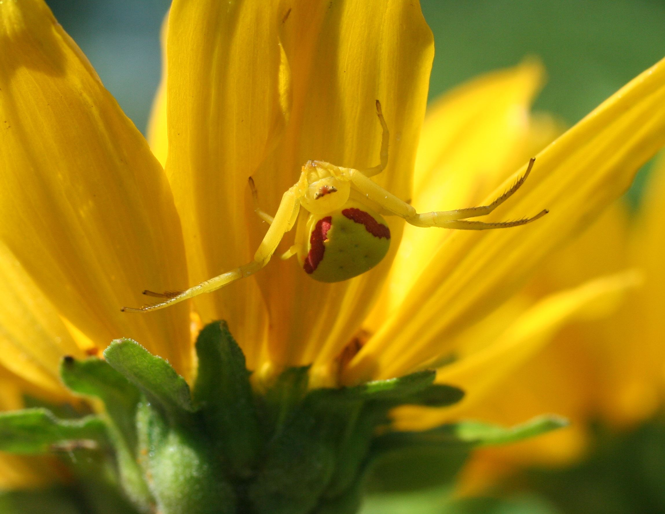 A yellow crab spider sitting under a yellow flower